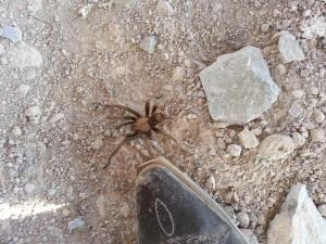 Tarantula!!