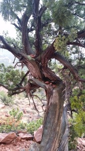 Tree supposedly twisted by a vortex in Sedona
