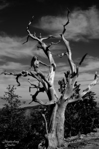 03 Nude Tree 3 277 BW web 199x300 The Fabulous Ancient Bristlecone Pine Forest