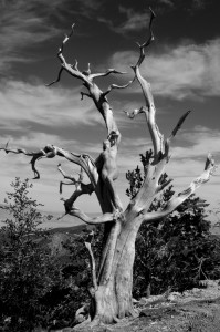 03 Nude Tree 3 335 BW web 199x300 The Fabulous Ancient Bristlecone Pine Forest